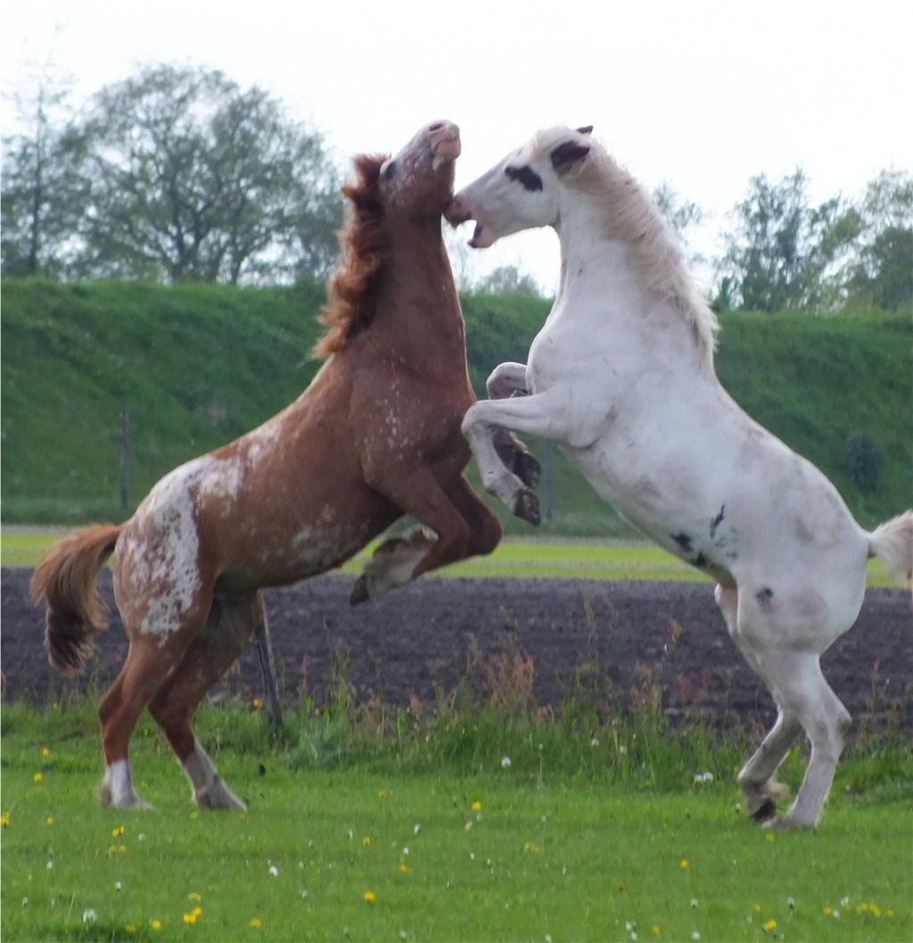 Foto S Van De Paarden Het Fjordenpaard
